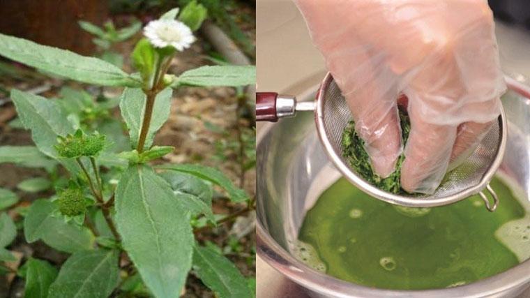 Cây nhọ nồi – vị thuốc quý cho sức khỏe
