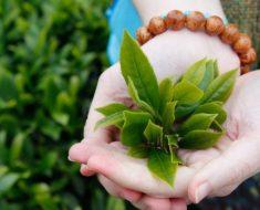 Lá trà xanh có tác dụng rất tốt trong việc khắc phục tình trạng hôi miệng